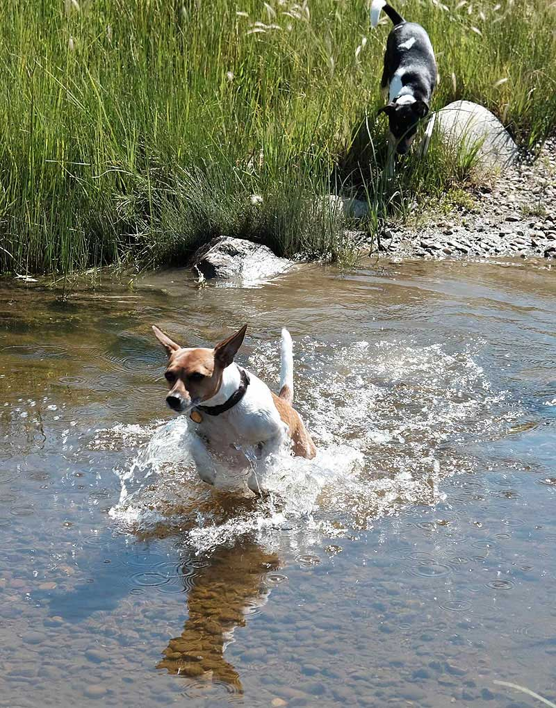 Melo and Pixel cool off in Rock Creek, Grasslands National Park, after a hard and hot hike