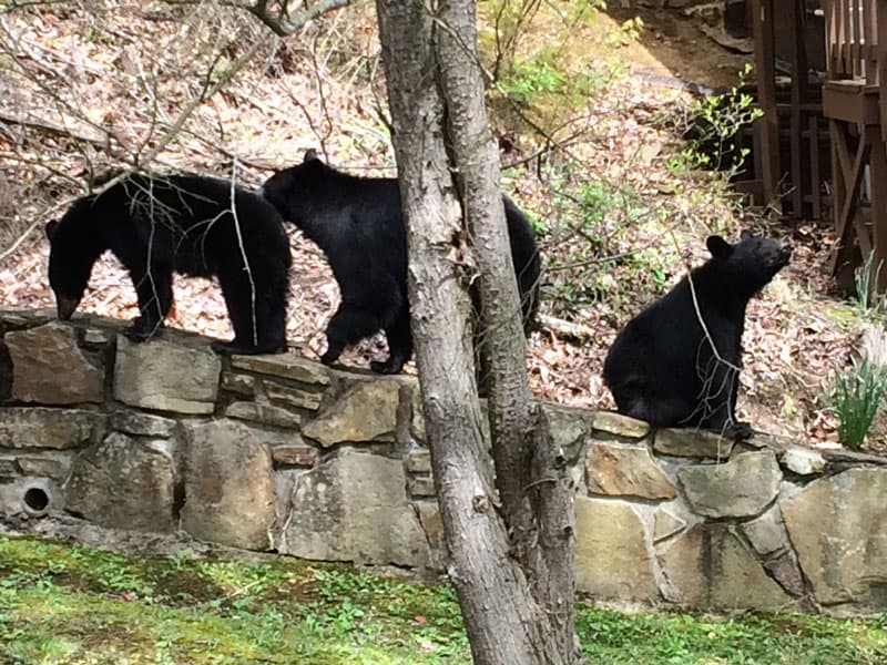 Bears in Great Smoky Mountains National-Park