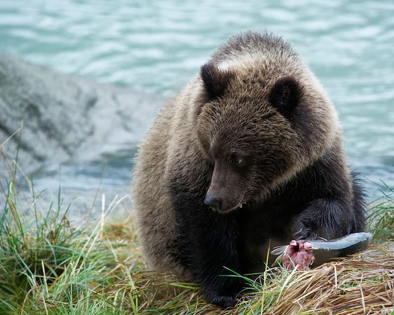 Haines, Alaska Bear Cub
