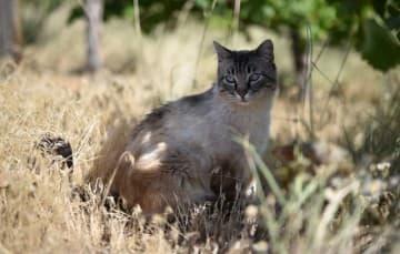 Vineyard Camping Cat