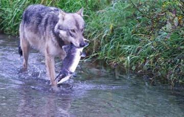 Hyder-Alaska-Wolf