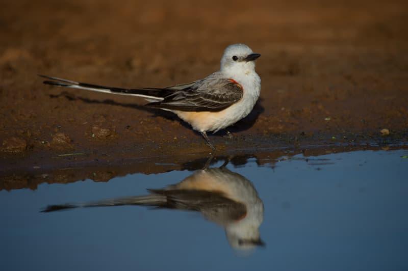 Above: Bird photography from Laguna Seca Ranch near Edinburg, Texas