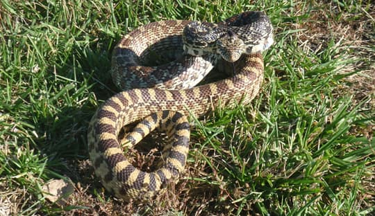 safety-Rat-Snake-Salina-Kansas