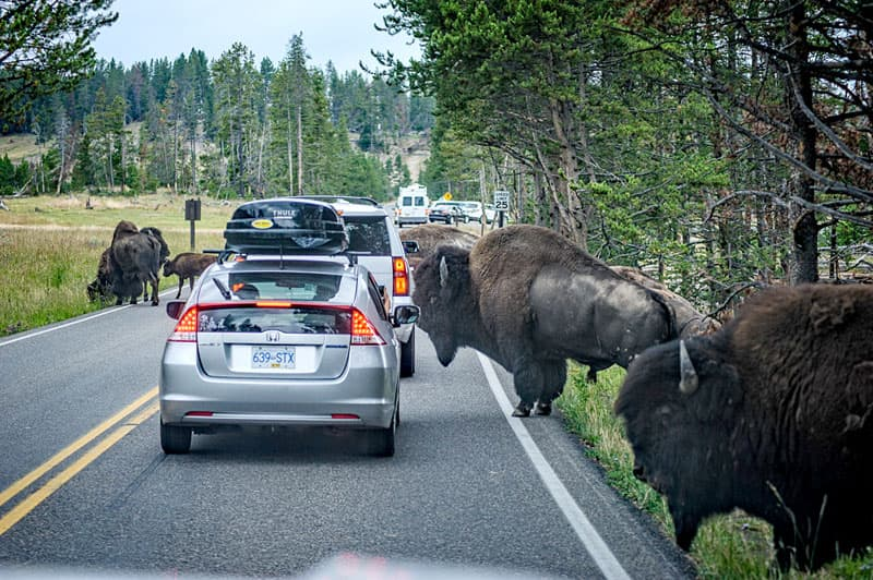 Traffic Jam with Buffalo in Yellowstone National Park