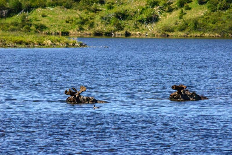 Moose in Dempster Highway pond