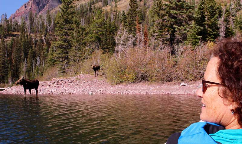 Moose at Two Medicine Lake in Glacier National Park