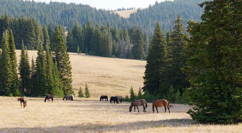 Mustangs everywhere, Pryor Mountain