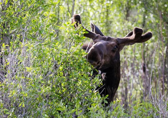 Tetons-Johnson-Moose