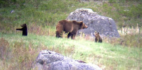 Tetons-grizzly-bears-ruane