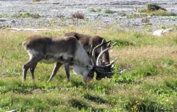 Newfoundland-Port-Aux-Choix-caribous
