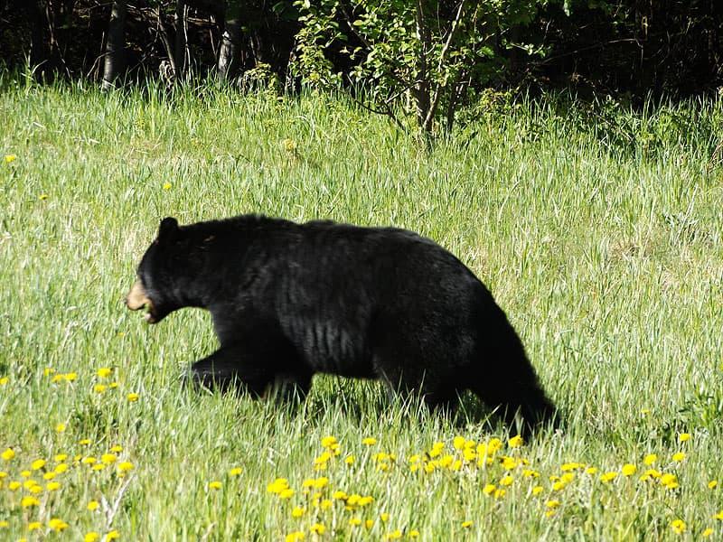 bear in Alberta
