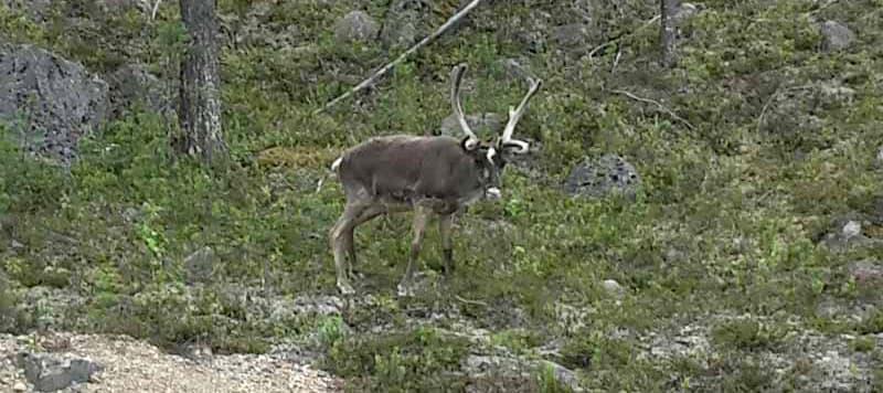 Reindeer In Europe