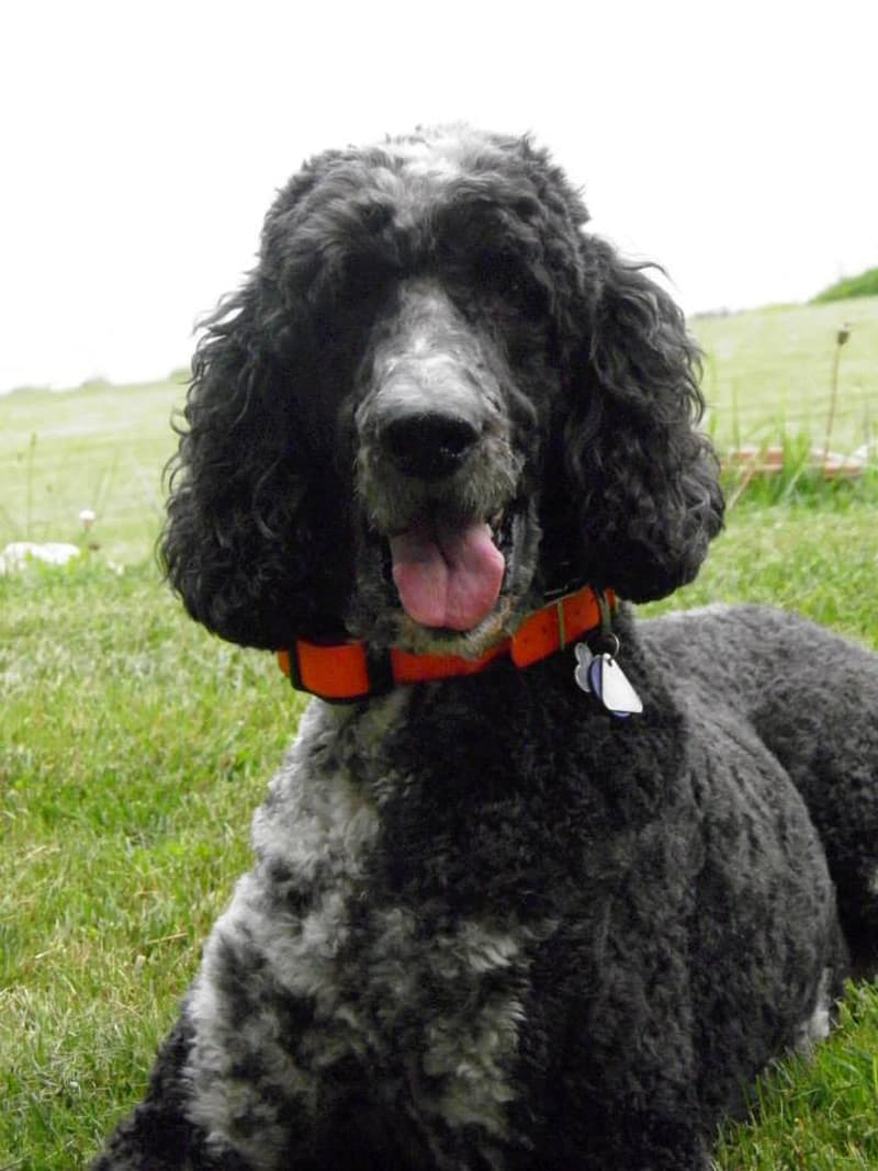 Rugby is a Standard Poodle