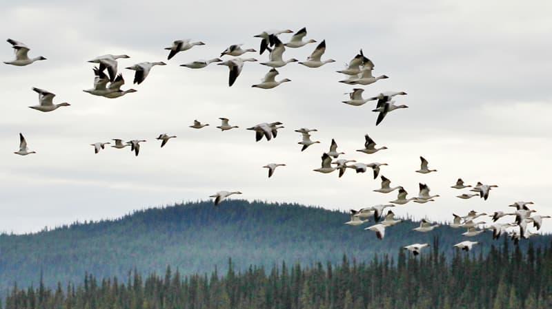 Swan Haven Marsh Lake Yukon flying Trumpeter Swans