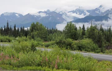 The-Cassiar-Highway-largest-Huckleberry-Patch-in-British-Columbia