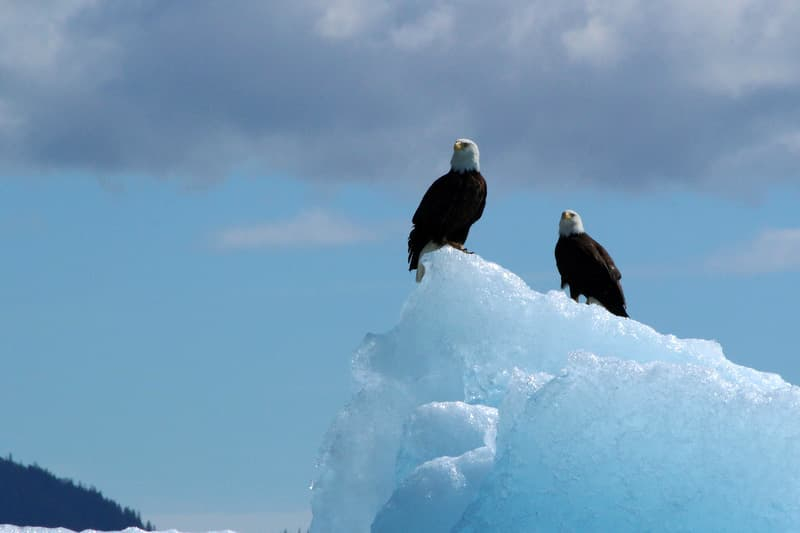 Tracy Arm Fjord eagles, Juneau, Alaska