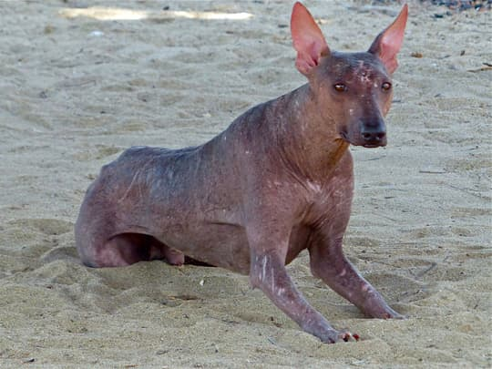 south-america-hairless-dog