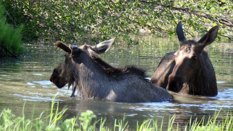 Moose in Chicken, Alaska