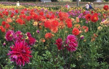Dahlia-farm-Canby-Oregon
