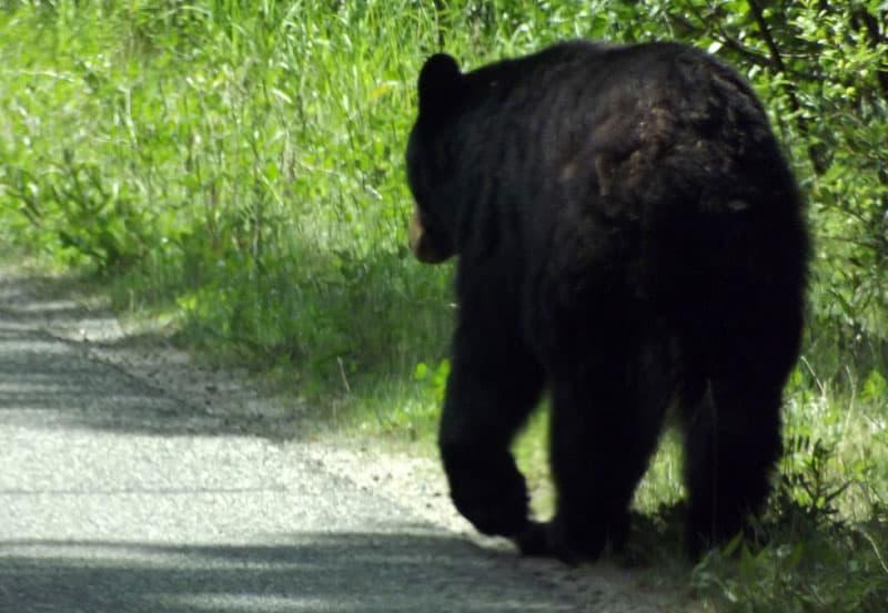 Bear on road near Miette