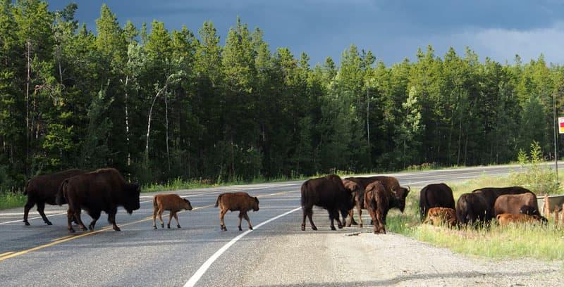 Lots of bison crossing road