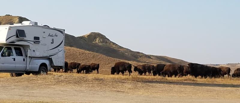 buffalo next to Arctic Fox Camper