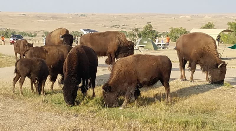 buffalo close to campsite