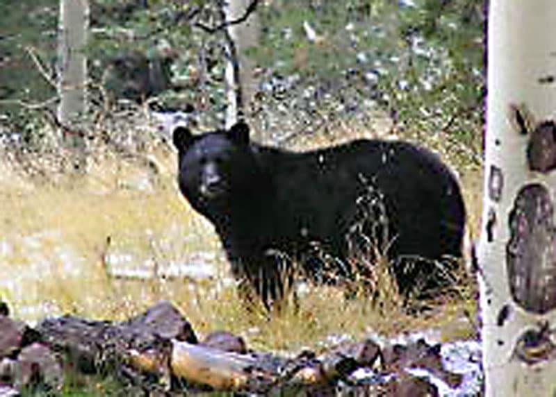 cliff bear