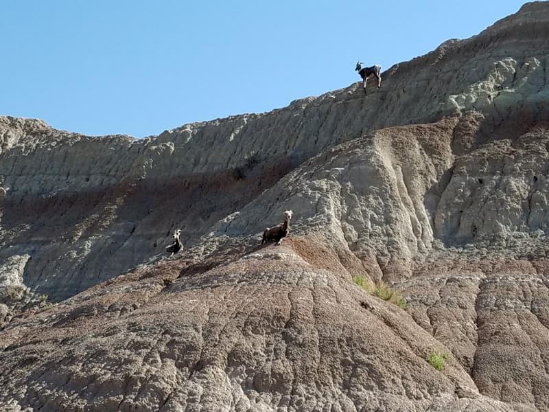 Mountain Goats Black Hills South Dakota