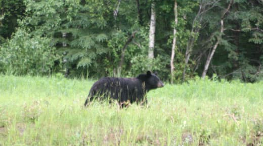 Alaska-Cannonball-First-Black-Bear
