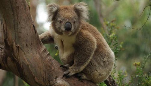 Koala along the great ocean road in Kennett River