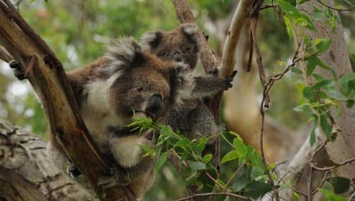 Koala with her young in the tree, Great Otway National Park