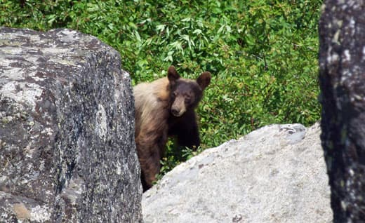 Kings-Canyon-National-Park-bear