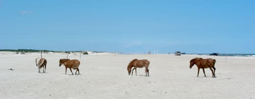 Assateague-Camping-ponies-on-parade