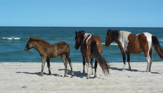 Assateague-Camping-wild-horses
