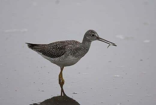 lesser-Yellowlegs-Kahtia-lagoon