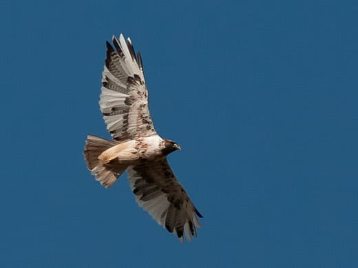 Leucistic-Red-tailed-Hawk