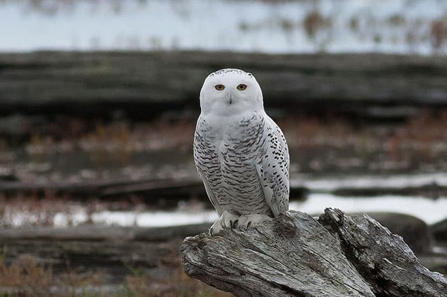 snowy-owl-dungeness-spit