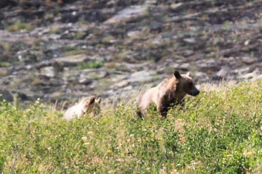Grizzlies-near-Josephine-Lake-Glacier-National-Park
