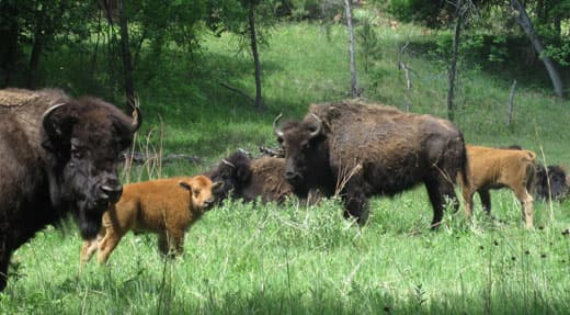 Escape-Pod-wildlife-Custer-State-Park-SD