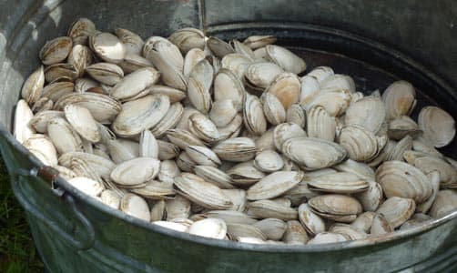 Lots and lots of clams