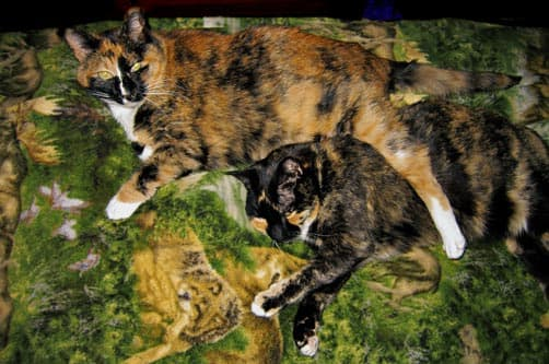 Cat Camping with two calico cats
