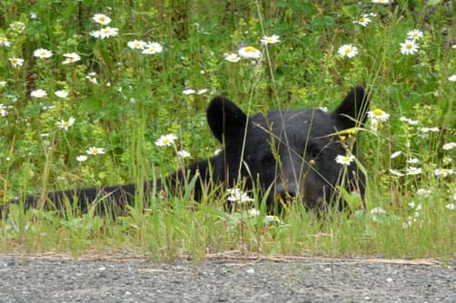 Black bears are frequently seen on Northern highways