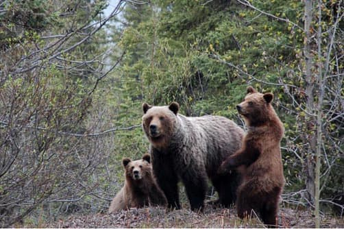 Grizzly family at turnout at kmp 373 Cassiar Hwy