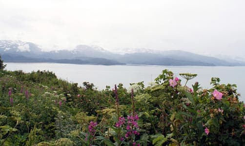Wildflowers with Aleutian Range in background, near Homer, Alaska