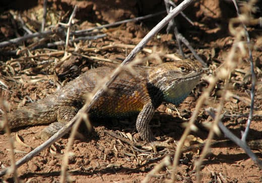 Capitol-Reef-National-Park-lizard