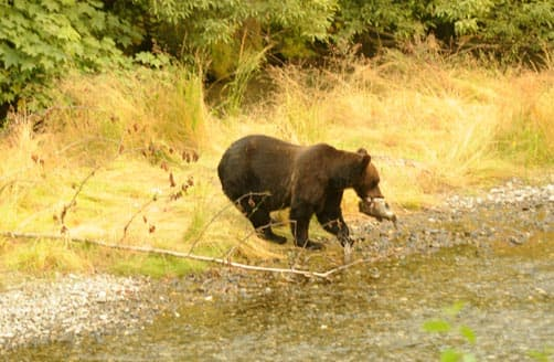 Bear eating salmon in Alaska