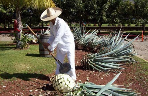 "An ""El Jimador"" removing the husk of the Agave root ball"